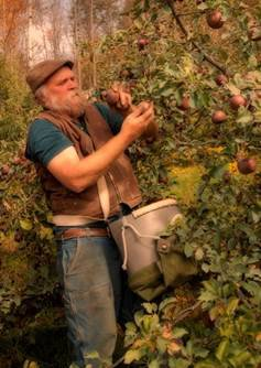 Michael Phillips, holistic orchardist, harvests apples at Lost Nation Orchard (photo by Frank Siteman)