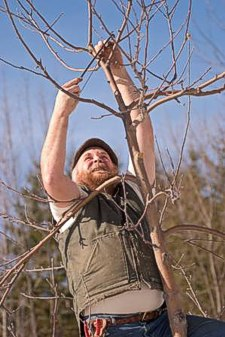 Michael Phillips, organic orchardist, pruning an apple tree