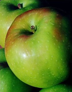 Rhode Island Greening defines American apple pie. -- photo: Michael Phillips