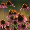 echinacea purpurea cluster at Heartsong Farm -- click for information about the Earth Medicine Share from Heartsong Farm